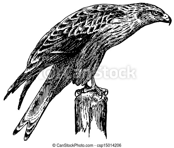 red tail hawk vector