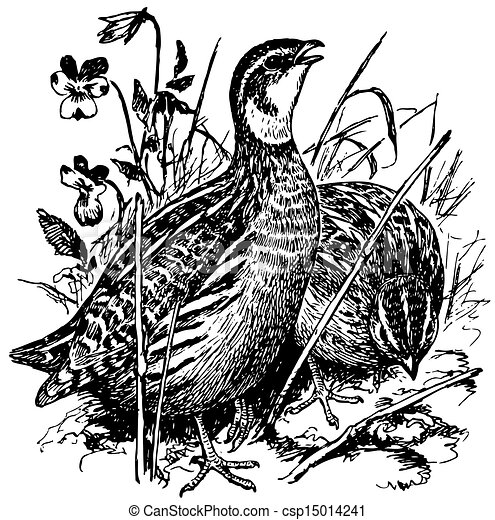 Quail Drawing Vector - Birds ...