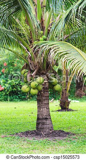 Coconut Tree, Dwarf variety in plantation - csp15025573