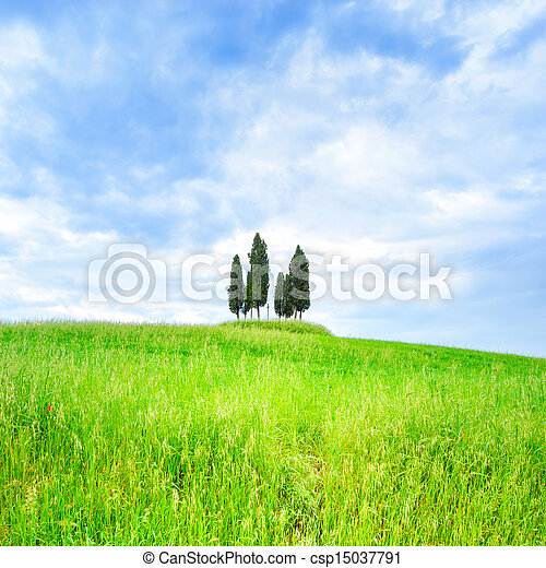 Cypress group and field rural landscape in Orcia, San Quirico, Tuscany. Italy - csp15037791