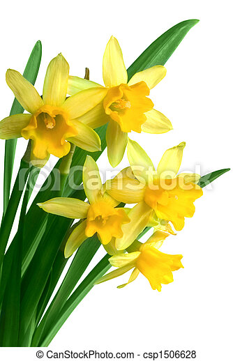 Yellow spring narcissus - csp1506628