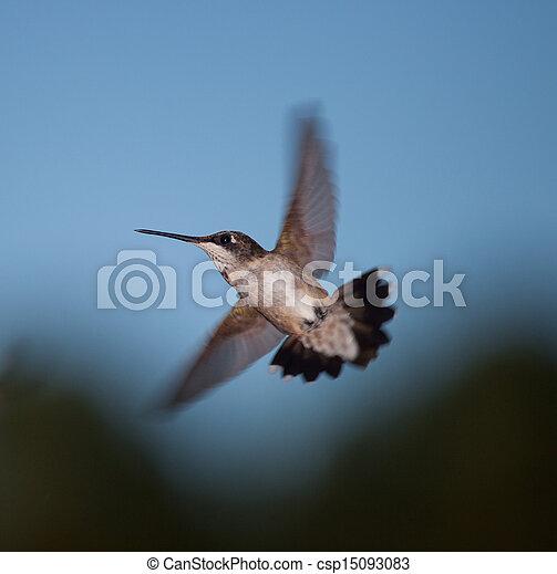 colibrí - csp15093083