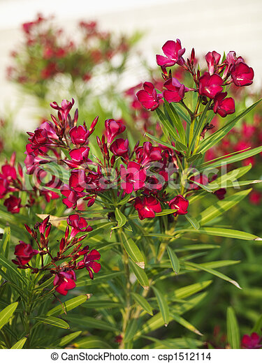 Flowering oleander bush. - csp1512114