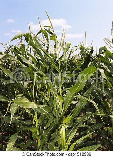 Corn crop field. - csp1512336