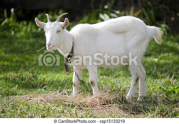 Animal Farm - Goat  - csp15133219