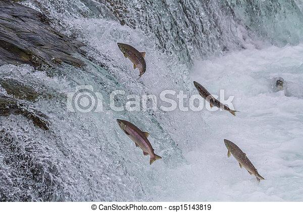 Sockeye Salmon Jumping Up Falls - csp15143819