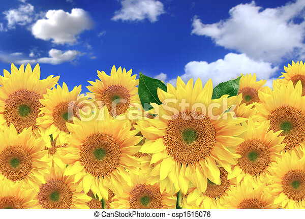 Happy Sunflowers in a Field on a Sunny Day - csp1515076
