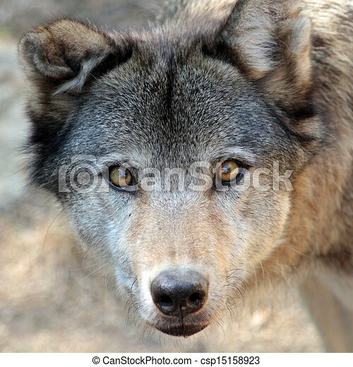 porträt, wolf, grau - csp15158923