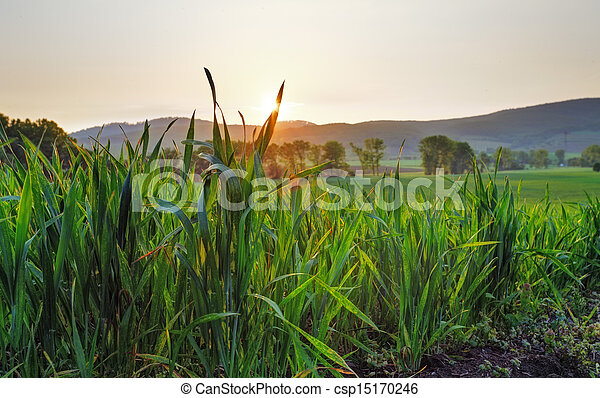Green wheat field at sunset - csp15170246