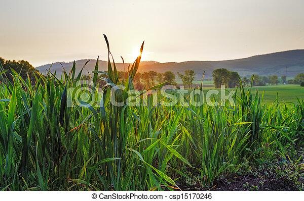 Green wheat field at sunset - csp15170246