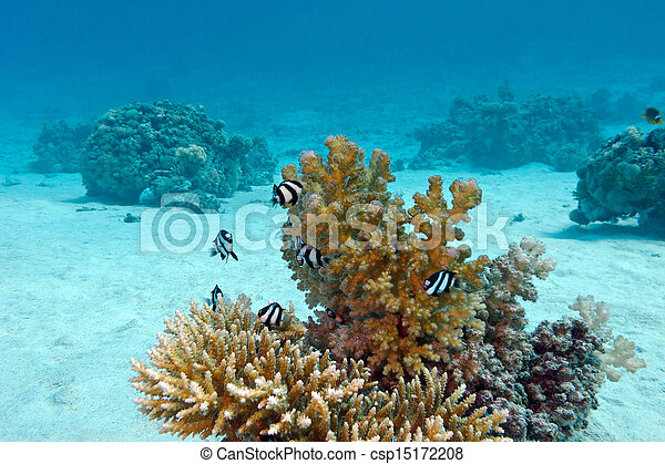 coral reef with hard coral and exotic fishes white-tailed damselfish  at the bottom of tropical sea  on blue water background - csp15172208