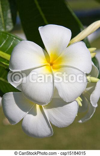White Frangipani flower at full bloom during summer (plumeria) - csp15184015
