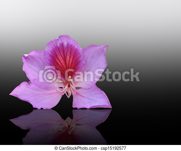 Orchid Tree Drawing Orchid Tree Flower Bauhinia