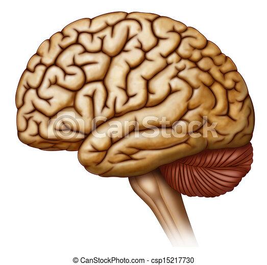 drawings of side view of the human brain illustration of human skeleton clip art free skeleton key clip art free