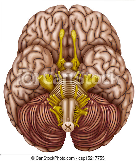 Stock Illustrations of Bottom view of the brain ...