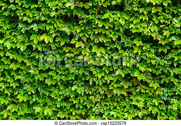 Image de mur feuilles vert lierre vert lierre - Comment se debarrasser du lierre ...