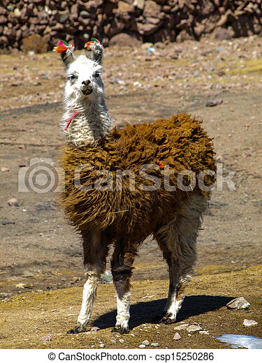 Llama - typical and funny south american mammal - csp15250286