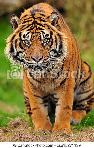 Tiger portrait vertical - csp15271139