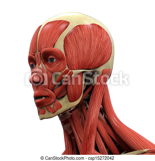 Human Face Anatomy Human Face Anatomy -