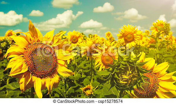 Sunflowers under the blue sky. beautiful rural scene - csp15278574