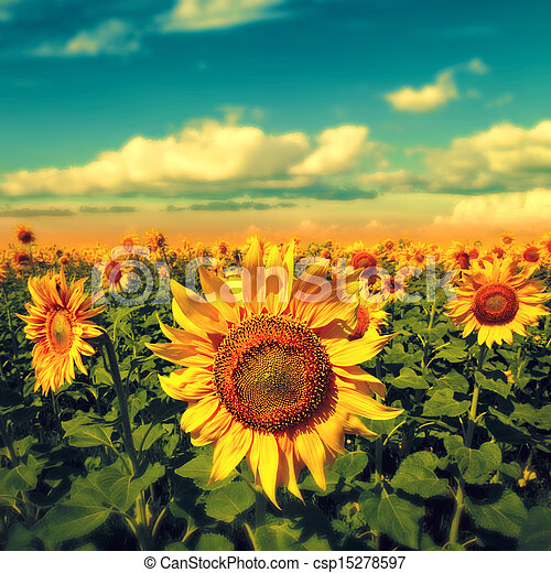 Sunflowers under the blue sky. beautiful rural scene - csp15278597