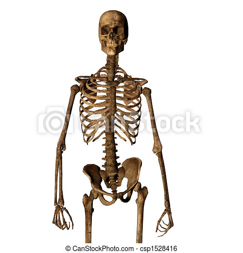 Aging human skeleton isolated on white looking towards camera - csp1528416