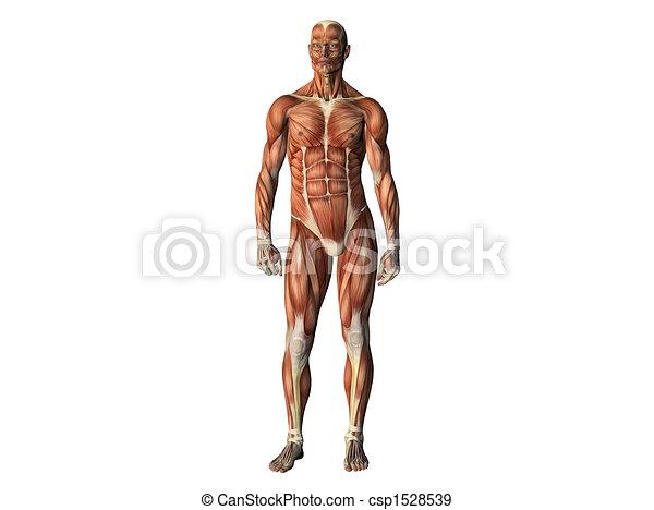 Male torso - csp1528539