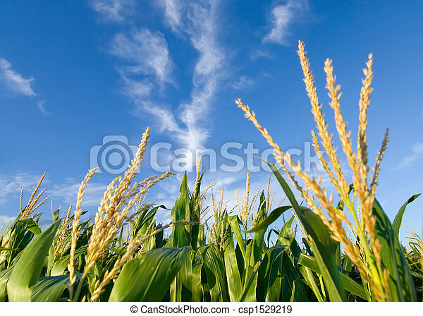 Corn field and nice clouds - csp1529219