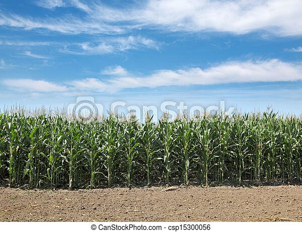 Agriculture, corn field - csp15300056