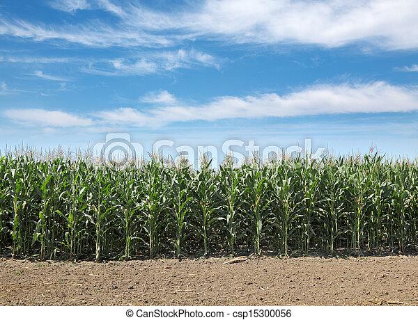 Agriculture, corn field - csp15300056