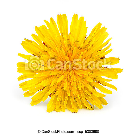 Yellow dandelion flowers - csp15303980