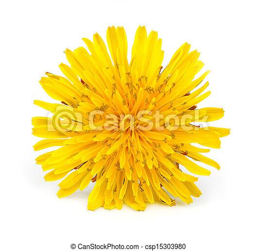 Yellow dandelion flowers - csp15303980