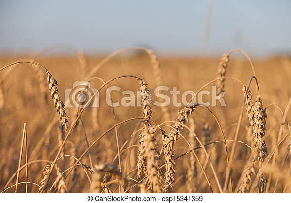 Wheat or rye agriculture field plant - csp15341359