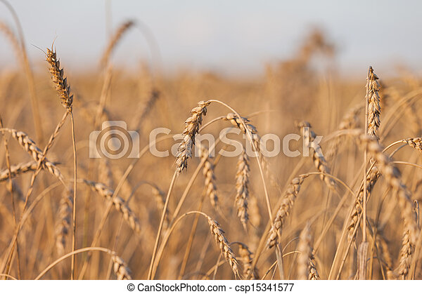 Wheat or rye agriculture field plant - csp15341577