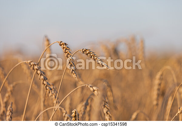 Wheat or rye agriculture field plant - csp15341598