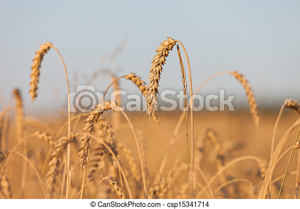 Wheat or rye agriculture field plant - csp15341714