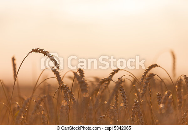 Wheat or rye agriculture field plant - csp15342065
