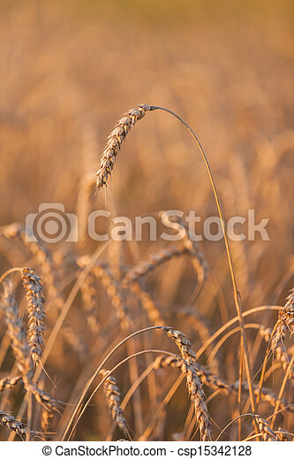 Wheat or rye agriculture field plant - csp15342128