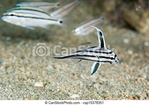 Stock images of juvenile high hat fish swimming over sand for High hat fish