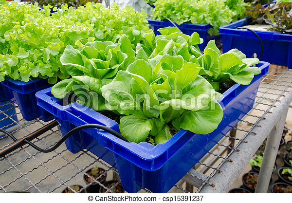 HYDROPONIC vegetables grown in blue plastic containers. - csp15391237