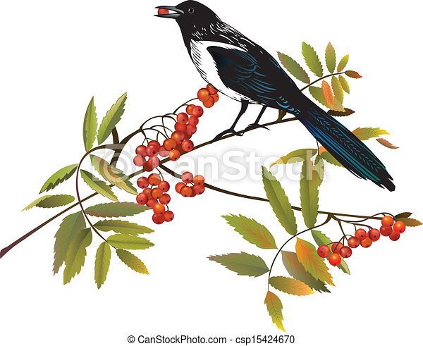 Magpie bird perching on a branch - csp15424670