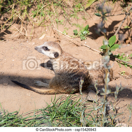 meerkat or suricate (Suricata, suricatta), a small mammal, is a member of the mongoose family - csp15426943