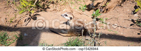 meerkat or suricate (Suricata, suricatta), a small mammal, is a member of the mongoose family - csp15426944