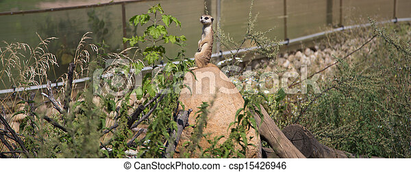 meerkat or suricate (Suricata, suricatta), a small mammal, is a member of the mongoose family - csp15426946