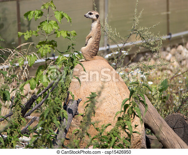 meerkat or suricate (Suricata, suricatta), a small mammal, is a member of the mongoose family - csp15426950