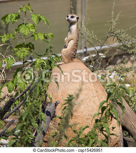 meerkat or suricate (Suricata, suricatta), a small mammal, is a member of the mongoose family - csp15426951