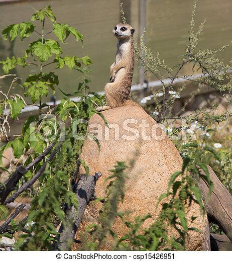meerkat or suricate (Suricata, suricatta), a small mammal, is a member of the mongoose family - csp15426951