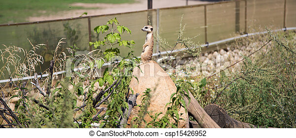 meerkat or suricate (Suricata, suricatta), a small mammal, is a member of the mongoose family - csp15426952