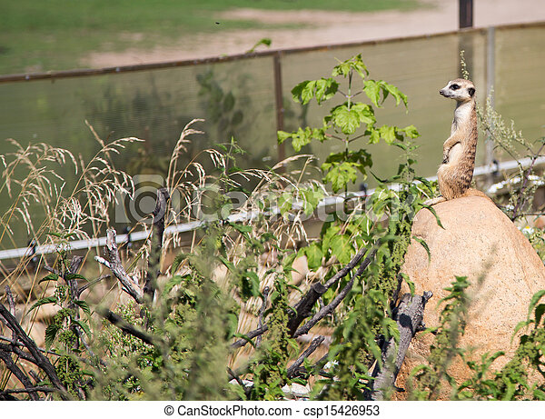 meerkat or suricate (Suricata, suricatta), a small mammal, is a member of the mongoose family - csp15426953
