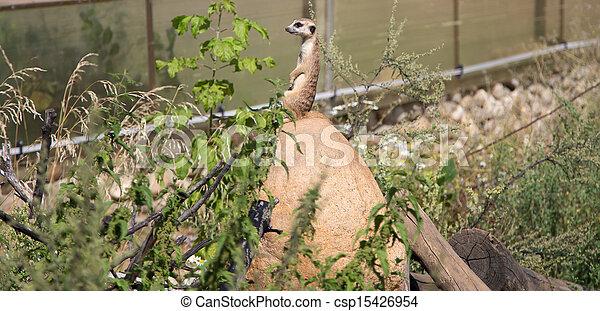 meerkat or suricate (Suricata, suricatta), a small mammal, is a member of the mongoose family - csp15426954
